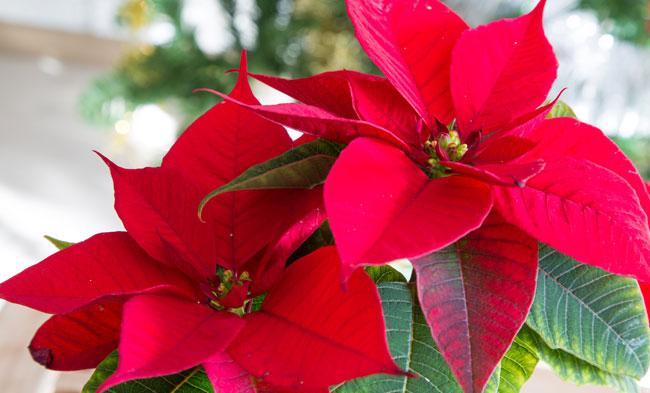 La Stella Di Natale Perde Le Foglie.Consigli Utili Per Curare La Stella Di Natale Evitandole Una Morte Prematura I Fiori Del Bene