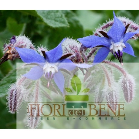 Semi di borragine (Borrago Officinalis)