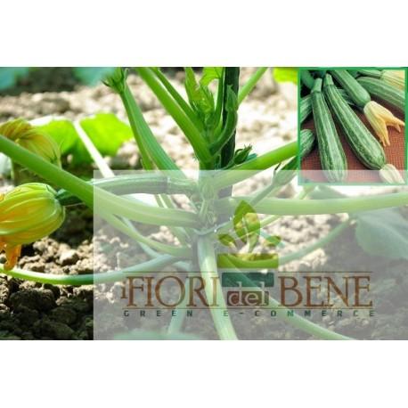 Semi di zucchino alberello di Sarzana