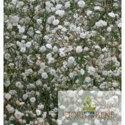Semi di Gypsophila paniculata [Nebbiolina o Velo da Sposa ]