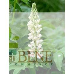 Semi di Lupino bianco [Lupinus albus]