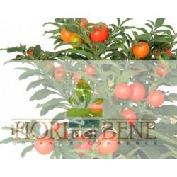 """Semi di """"ciliegia di Gerusalemme"""" [Solanum pseudocapsicum]"""