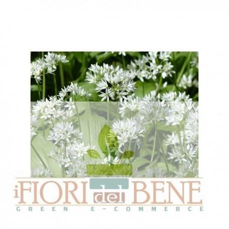 Semi di aglio orsino ( Allium Ursinum )