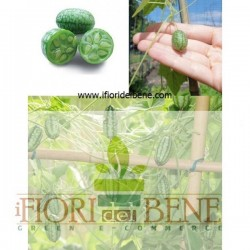 Semi di cetriolo messicano ( Melothria scabra - cucamelon ) Dotto Sementi, Linea Benessere e Sapore