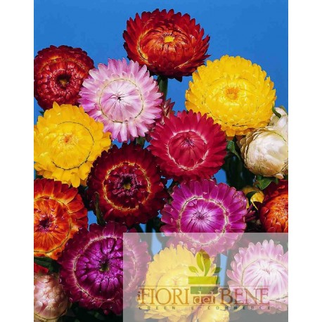"""Semi del """"fiore di paglia"""" in miscuglio [Helichrysum Bracteatum]"""