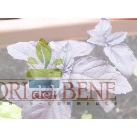 Semi di basilico violetto